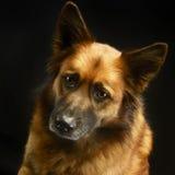 Смешанная собака породы в черной студии предпосылки Стоковые Изображения RF
