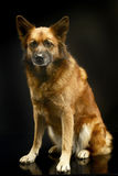 Смешанная собака породы в черной студии предпосылки Стоковое фото RF