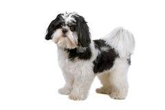 смешанная собака breed Бумера Стоковые Изображения RF