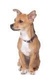 смешанная собака breed стоковые фото