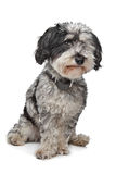 смешанная собака breed стоковое фото rf