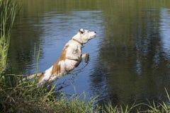 Смешанное подныривание собаки породы в пруд Стоковое фото RF