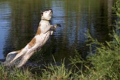 Смешанное подныривание собаки породы в пруд Стоковое Изображение RF