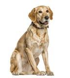 Смешанное breeded изолированное усаживание собаки, Стоковое Изображение