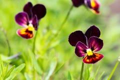 Смешанные pansies в саде, естественной предпосылке Стоковые Изображения