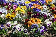 Смешанные pansies в саде, сезонной естественной сцене Стоковое Изображение