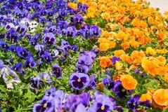 Смешанные pansies в саде, совершенной предпосылке для вашей концепции или проекте Стоковая Фотография RF