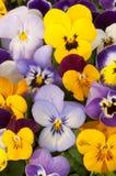 Смешанные pansies в саде Стоковое Изображение