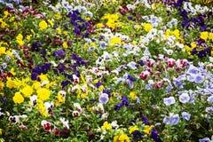 Смешанные pansies цветут в саде, сезонной естественной сцене Стоковая Фотография