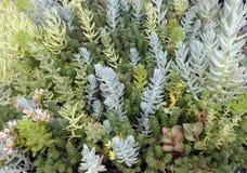 Смешанный засаживать sedums и succulents Стоковое фото RF