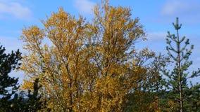 Смешанный лес осени в желтом цвете выходит пятна акции видеоматериалы