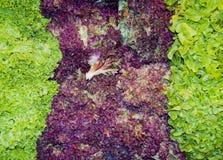 Смешанный салат выходит frisee, radicchio и lamb& x27; салат s Стоковое Изображение RF