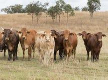 Смешанный табун австралийских скотин кочуя свободно в Квинсленде Австралии Стоковое Изображение RF