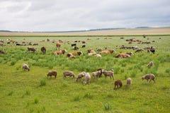 Смешанный табун пася на фоне сибирской степи Стоковая Фотография RF