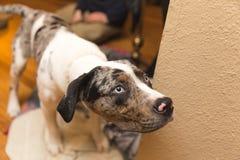 Смешанный щенок с яркими глазами Стоковые Фотографии RF