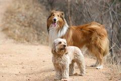 Смешанный Spaniel кокерспаниеля и грубая Коллиа Стоковое Фото