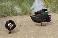 3 смешанных дикой утки породы отдыхая стороной озера Стоковая Фотография