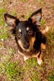 смешивание Коллиы breed Стоковые Фотографии RF