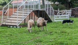Смешивание немецкой овчарки Коллиы границы Стоковая Фотография