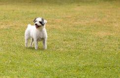 Смешивание собаки терьера стоковые изображения rf