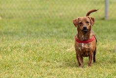Смешивание собаки терьера стоковое фото rf