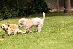 Смешивание собаки терьера стоковая фотография rf