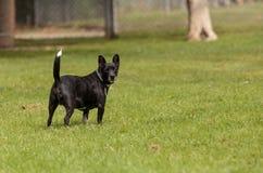 Смешивание собаки терьера стоковая фотография