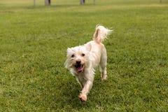 Смешивание собаки терьера стоковое фото