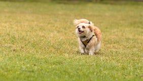 Смешивание собаки чихуахуа стоковые фото