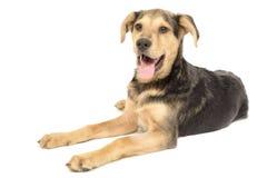 Смешивание щенка таксы Лабрадора Стоковое Изображение