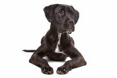 смешивание labrador собаки боксера Стоковое фото RF