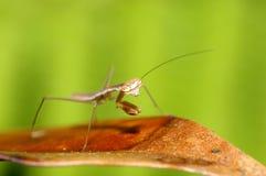 смешивание mantis предпосылки зеленое Стоковые Фотографии RF