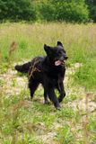 Смешивание Retriever бежать в высокой траве Стоковое фото RF