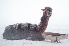 Смешная альпака, комичное животное, шутка, стоковые изображения rf