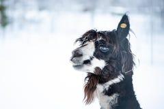 Смешная альпака, комичное животное, шутка стоковые изображения rf
