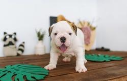 Смешная английская стойка щенка бульдога на деревянном столе дома стоковые изображения rf