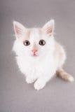 смешная белизна котенка Стоковые Изображения