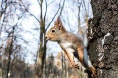 Смешная белка сидя на стволе дерева на запачканной задней части парка осени стоковая фотография