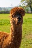 Смешная выглядя коричневая альпака на ферме стоковые изображения