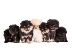 Смешная группа щенят Pomeranian Стоковые Фото