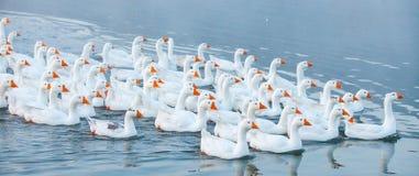 смешная гусына Гусыни заплывания Отечественные гусыни плавают в пруде Стадо гусынь на реке стоковые фотографии rf
