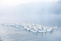 смешная гусына Гусыни заплывания Отечественные гусыни плавают в пруде Стадо гусынь на реке стоковая фотография rf