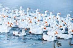 смешная гусына Гусыни заплывания Отечественные гусыни плавают в пруде Стадо гусынь на реке стоковое изображение