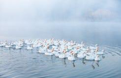 смешная гусына Гусыни заплывания Отечественные гусыни плавают в пруде Стадо гусынь на реке стоковые фото