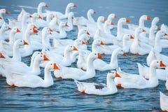 смешная гусына Гусыни заплывания Отечественные гусыни плавают в пруде Стадо гусынь на реке стоковые изображения