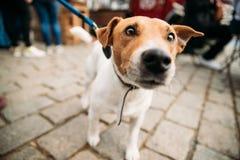 Смешная Джека Рассела терьера собаки прогулок улица вниз на поводке Собака Стоковые Фото