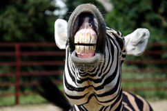 Смешная зебра Стоковое фото RF