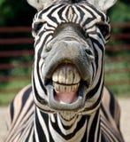 Смешная зебра Стоковое Фото