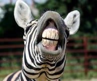Смешная зебра Стоковые Изображения