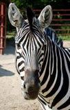 Смешная зебра Стоковые Фото